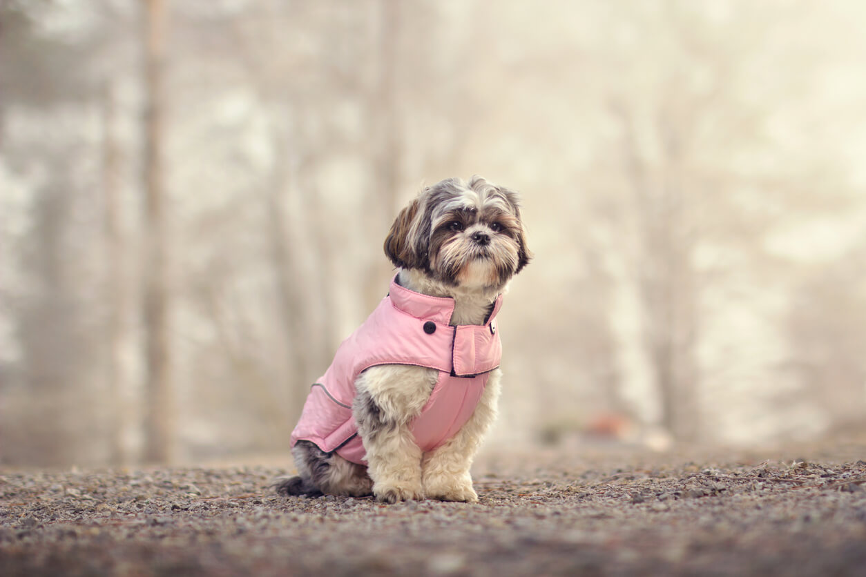 dog wearing coat